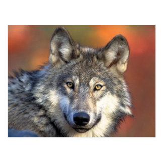 Grauer Wolf-Postkarte Postkarte