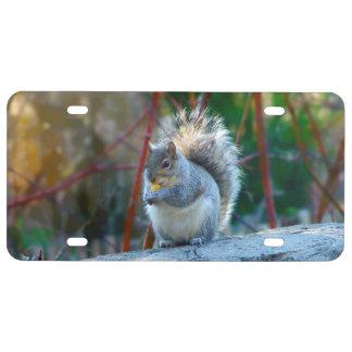 Graues Eichhörnchen, das Kfz-Kennzeichen isst US Nummernschild