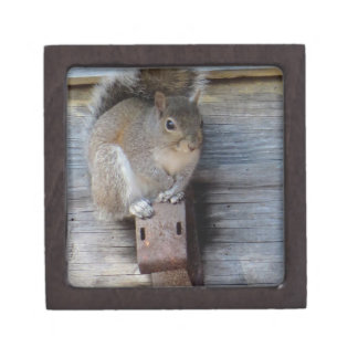 Graues Eichhörnchen, ländliche Fotografie durch Kiste