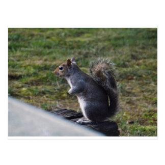 Graues Eichhörnchen Postkarte