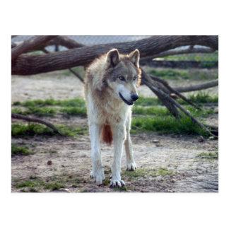 grey-wolf-13 postkarte
