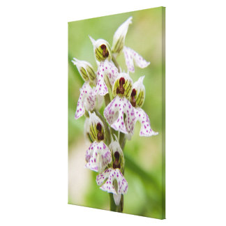 Griechenland, Kreta. Orchidee in der Blüte Orchis Leinwanddruck