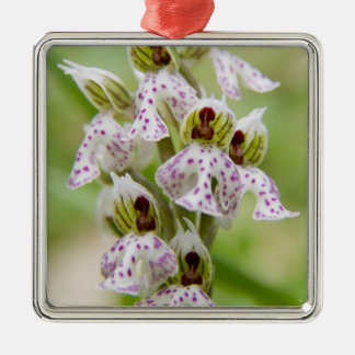 Griechenland, Kreta. Orchidee in der Blüte Orchis Silbernes Ornament