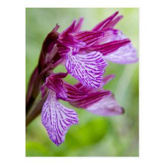Griechenland, Kreta. Schmetterlingsorchidee in der Postkarte