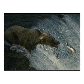 Grizzlybär Bild-Fischen für Lachse Postkarte