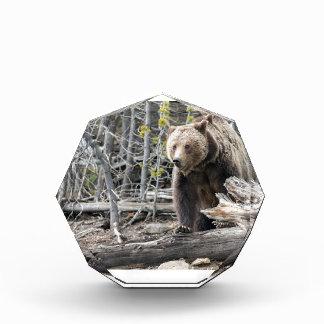 Grizzlybär in Yellowstone Nationalpark USA Acryl Auszeichnung