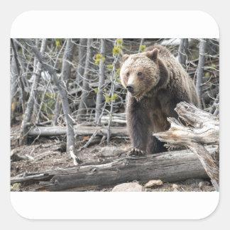 Grizzlybär in Yellowstone Nationalpark USA Quadratischer Aufkleber