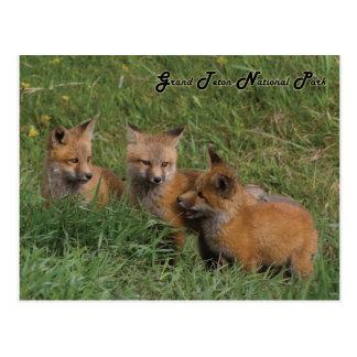 Großartige Teton Nationalparkfox-Ausrüstungen Postkarte