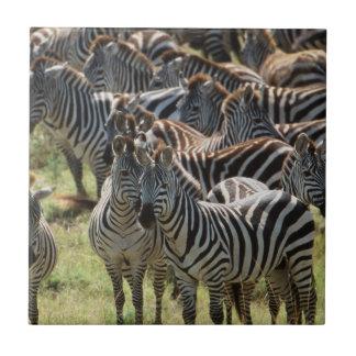 Große Herde von Burchells Zebra Fliese