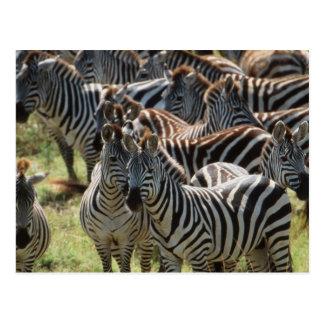Große Herde von Burchells Zebra Postkarte