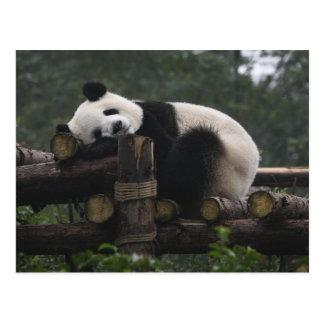 Große Pandas am großer Panda Schutz u. den 3 Postkarte