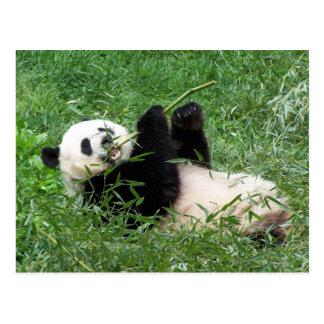 Großer Panda, der Bambus essend Lounging ist Postkarte