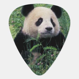 Großer Panda im Gras, Wolong Tal, Sichuan Plektron