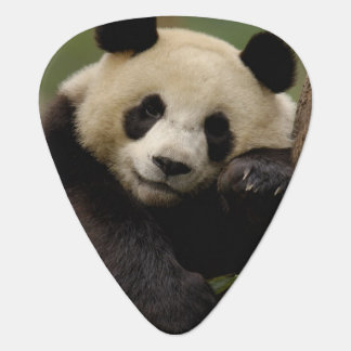 Großer PandaAiluropoda melanoleuca) Familie: 4 Plektrum