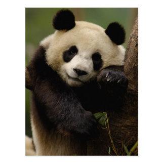 Großer PandaAiluropoda melanoleuca) Familie: 4 Postkarte