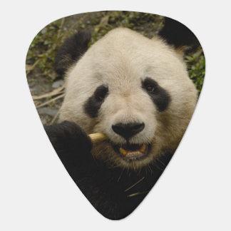 Großer PandaAiluropoda melanoleuca) Familie: 5 Plektron
