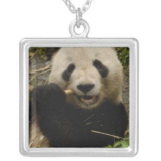 Großer PandaAiluropoda melanoleuca) Familie: 5 Versilberte Kette