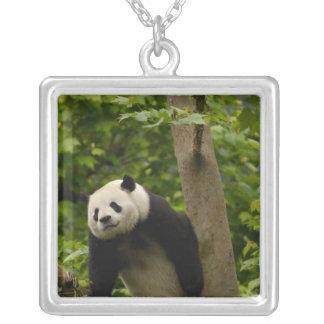 Großer PandaAiluropoda melanoleuca) Familie: 6 Versilberte Kette