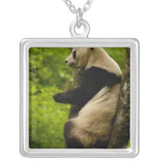 Großer PandaAiluropoda melanoleuca) Familie: Versilberte Kette