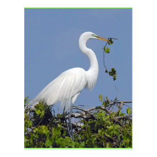 Großer Reiher, Florida-Postkarte Postkarte