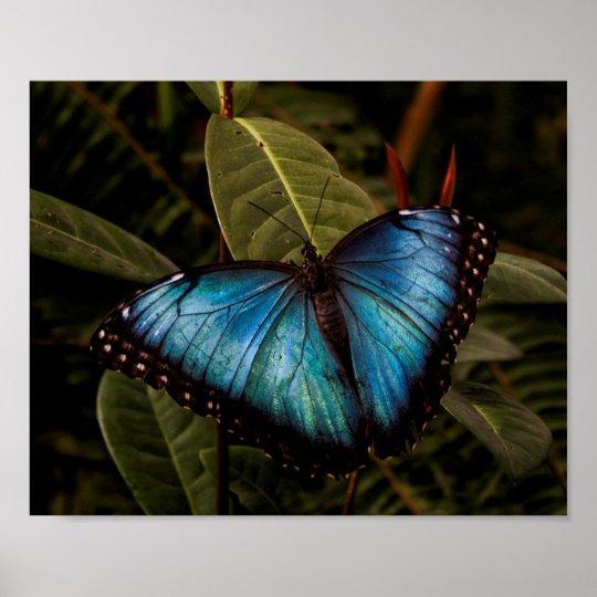 Großer, schöner, blauer Schmetterling Poster