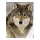 Großer schöner grauer Wolf im wilden Postkarte