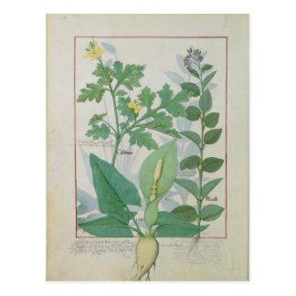 Größerer Celandine oder Mohnblume Postkarte