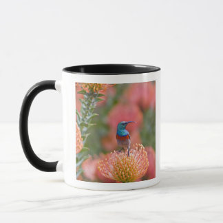 Größerer Doppelt-ergatterter Sunbird füttert an Tasse
