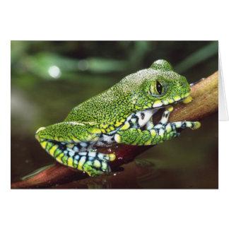 Großes Auge Treefrog, Leptopelis vermiculatus, Karte