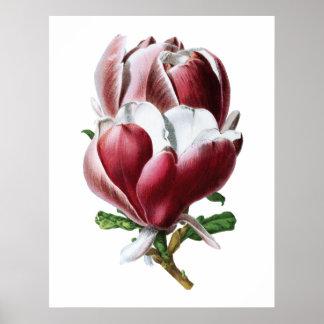 Großes Blumenplakat der rosa Magnolie Poster