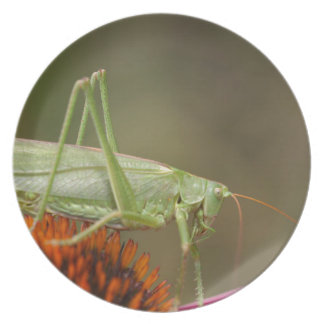 Großes grünes Bush-Kricket (Tettigonia Teller