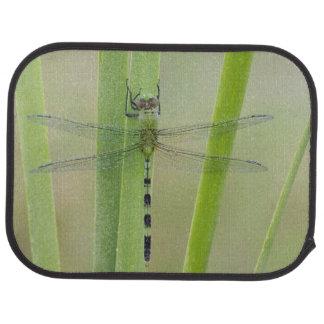 Großes Pondhawk, Erythemis vesiculosa, Erwachsener Autofußmatte