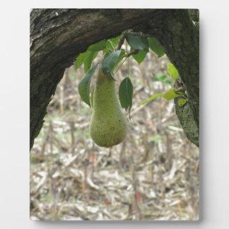 Grüne Birne des Singles, die am Baum hängt Fotoplatte