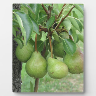 Grüne Birnen, die an einem wachsenden Birnenbaum Fotoplatte