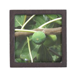 Grüne Feigen, die auf einem Feigenbaum reifen Schmuckkiste