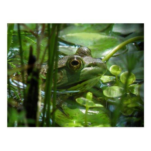 Grüne Teich-Frosch-Postkarte