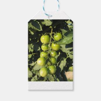 Grüne Tomaten, die an der Pflanze im Garten hängen Geschenkanhänger