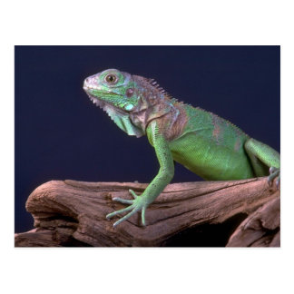 Grüner Leguan Postkarte