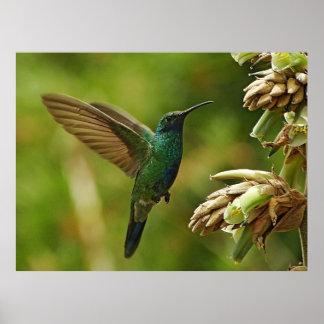 Grüner Violett-Ohren Kolibri-gerahmter Druck Poster