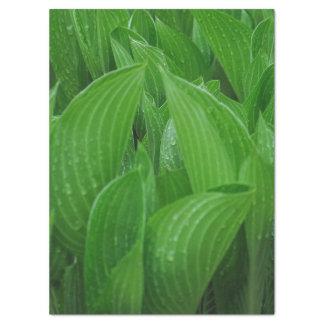 Grünes Hosta-Blätter mit Regentropfen-Seidenpapier Seidenpapier