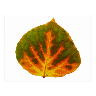 Grünes orange u. gelbes Aspen-Blatt #1 Postkarte