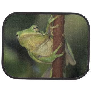 Grünes Treefrog, Hyla cinerea, Erwachsener auf Automatte