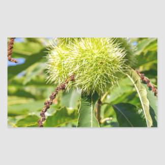 Grünhülsen und Blätter des Baums der süßen Rechteckiger Aufkleber