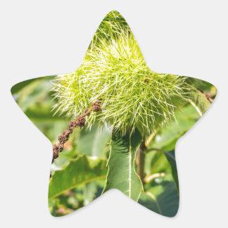 Grünhülsen und Blätter des Baums der süßen Stern-Aufkleber