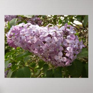 Gruppe der Flieder blüht lila Frühlings-Blumen Poster