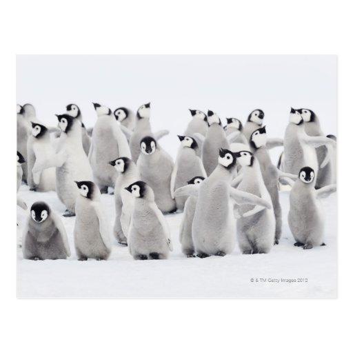 Gruppe Kaiser-Pinguine (Aptenodytes forsteri) Postkarten