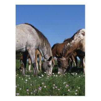 Gruppe weiden lassende Appaloosa-Pferde Postkarte