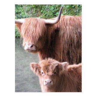 Haarige Gurren: Hochland-Vieh Kuh und Kalb Postkarten