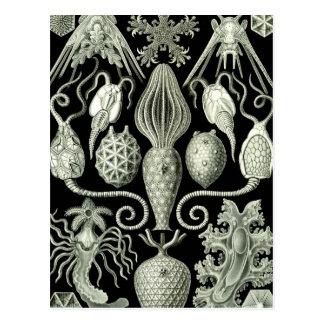 Haeckel Amphoridea Postkarte
