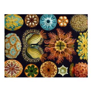 Haeckel Ascidiae mehrfache Produkte ausgewählt Postkarte